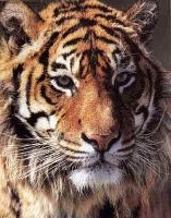 Meaning Of Dream About Tiger Tigress